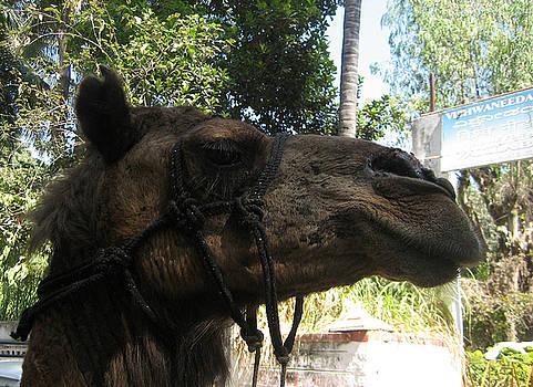 Umesh U V - Camel