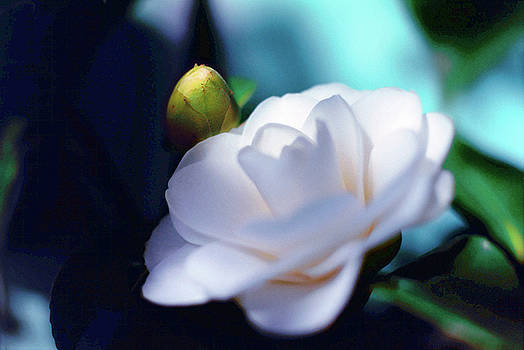 Camellia and Bud by Daniel Furon