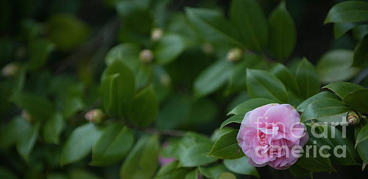 Dale Powell - Camellia Blooming in December
