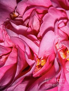 Camellia Close by Judy Hall-Folde