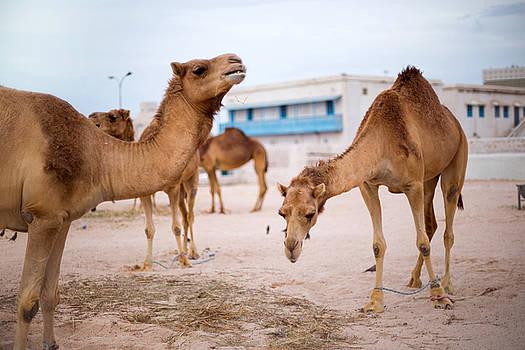 Camels feeding in Qatar  by Paul Cowan