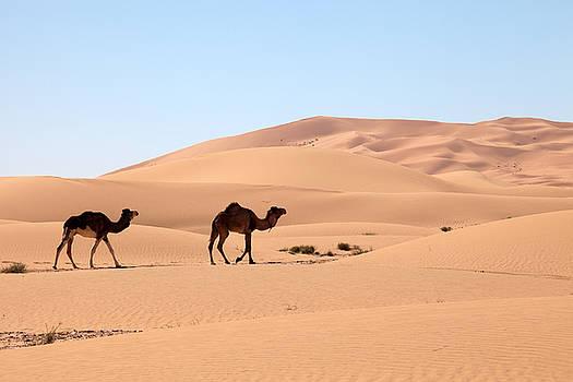 Camels in Desert by Aivar Mikko