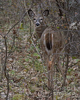 Camouflage Deer by Kathy M Krause