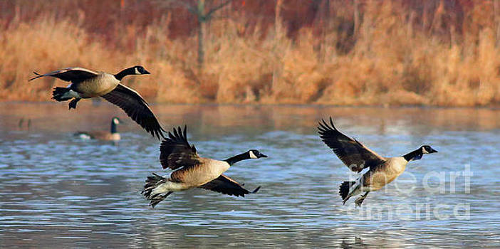 Canada Geese #1 by Debbie Parker