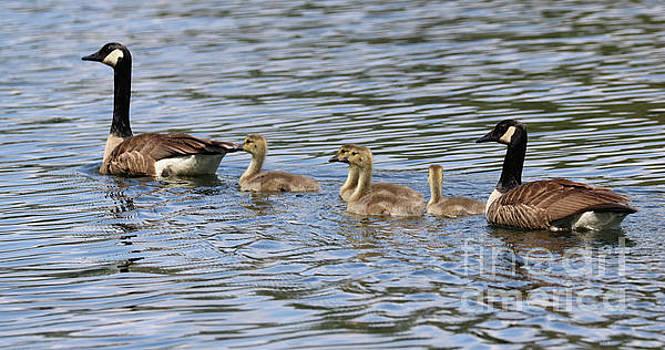 Sandra Huston - Canada Geese Family
