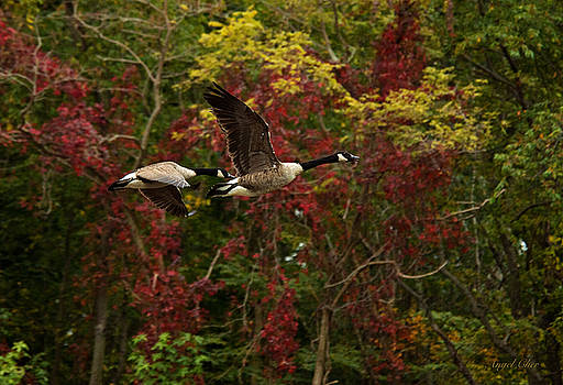 Canada Geese in Autumn by Angel Cher