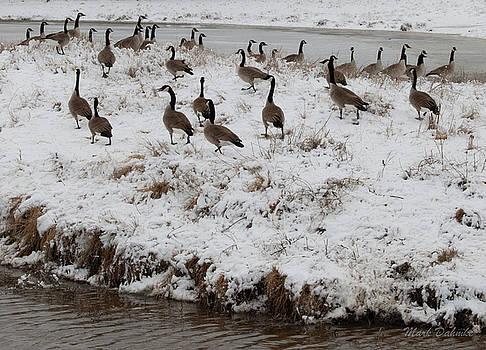 Canada Geese by Mark Dahmke