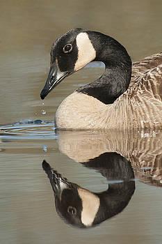 Canada Goose and Drop by Lauren Brice