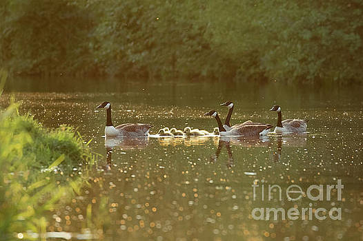 Canada goose geese family - Branta canadensis - with goslings on a by Paul Farnfield
