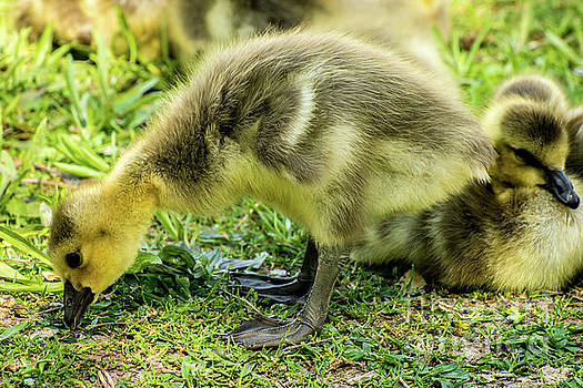 Canada Goose Gosling by Gary Whitton
