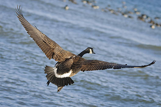 Christine Kapler - Canada Goose in Fly