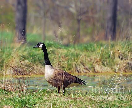 Canada Goose Portrait by Kerri Farley