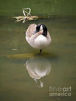 Canada Goose Reflection by Rachel Morrison