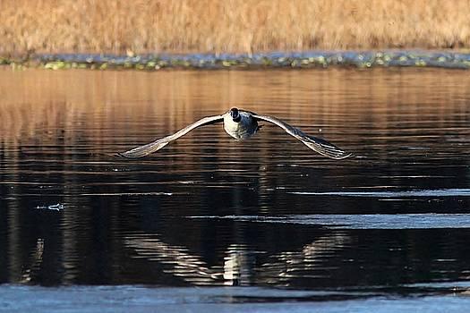 Canada Goose - solo flight by Linda Crockett