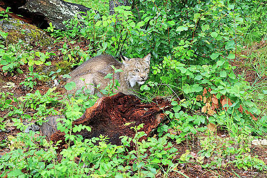 Canada lynx crouching behind a rotting log by Louise Heusinkveld