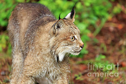 Canada lynx Lynx canadensis by Louise Heusinkveld