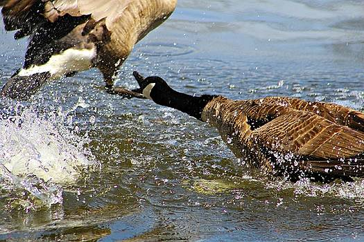 Andrew Davis - Canadian Geese Fighting in the Water