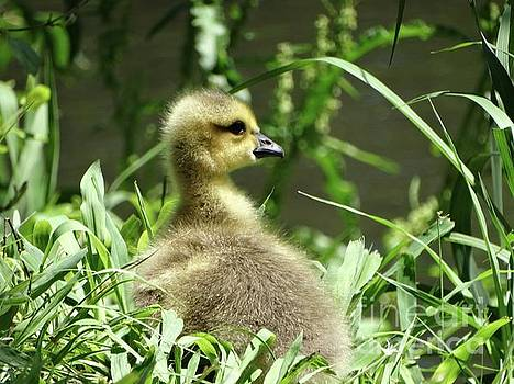 Canadian Geese Gosling in Spring  by Rebecca Overton