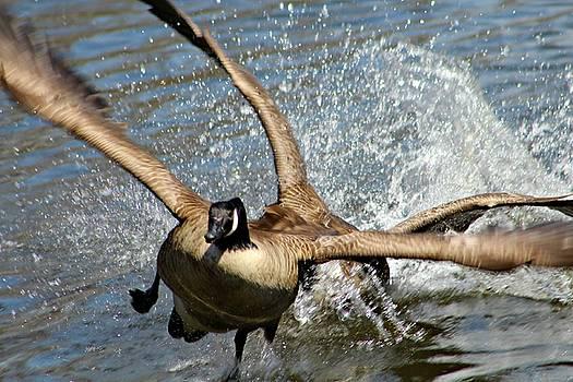 Andrew Davis - Canadian Geese in Flight