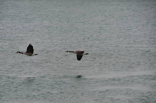 Randy J Heath - Canadian Geese in Flight