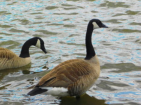 Arlane Crump - Canadian Geese in Virginia