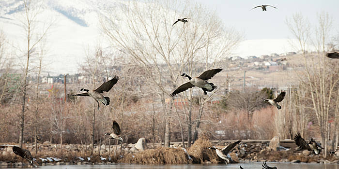 Canadian Geese Landing by Chad Davis