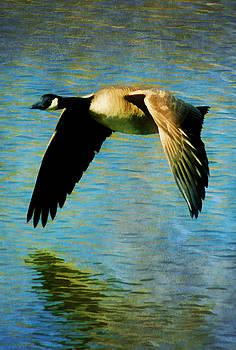 Canadian Goose by Amanda Struz