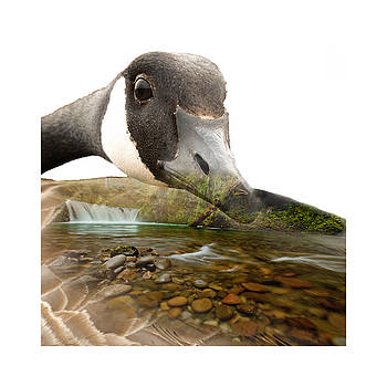 Canadian Goose and Oregon Waterfall Double Exposure by DS Dodd