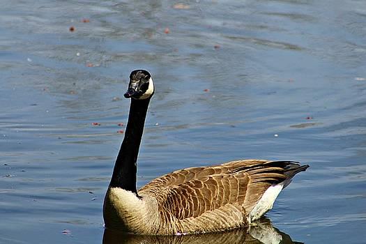 Andrew Davis - Canadian Goose in the Water