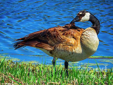 Canadian Goose by Kasia Bitner