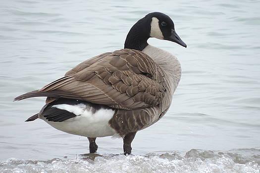 Randy J Heath - Canadian Goose