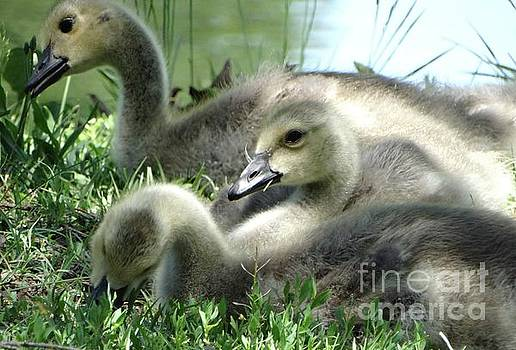 Canadian Goslings in Spring by Rebecca Overton