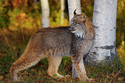 Reimar Gaertner - Canadian Lynx looking back in the shade of birch trees in a colo