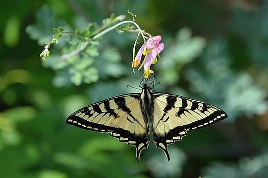 Canadian Tiger Swallowtail Butterfly by David Porteus