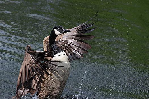 Canadian Wing Flap by Jake Danishevsky