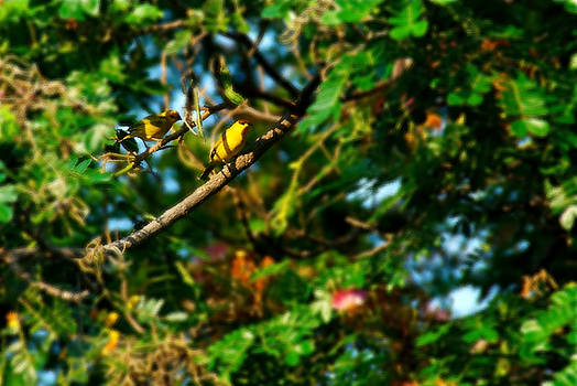 Bibi Rojas - Canaries on tree 2