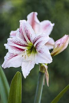 Candy Cane Amaryllis by Rob Nelms