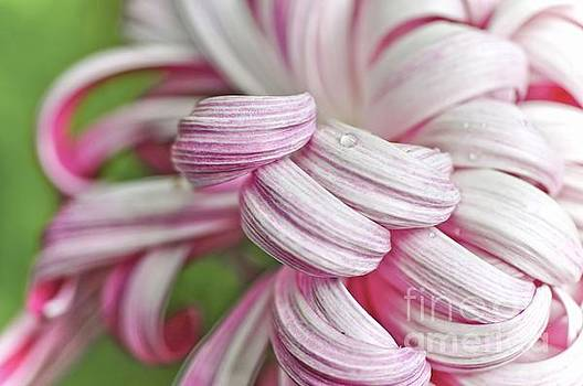 Candy Cane Petals by Elaine Manley