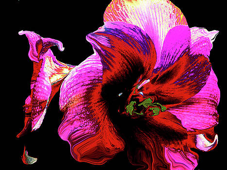 Candy Pink Amaryllis by Cheryl Ehlers