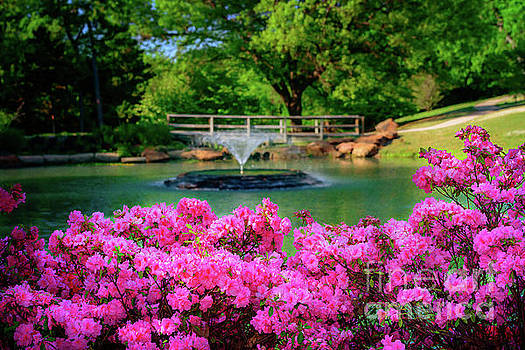 Candy Pink Azaleas at the Azalea Festival by Tamyra Ayles