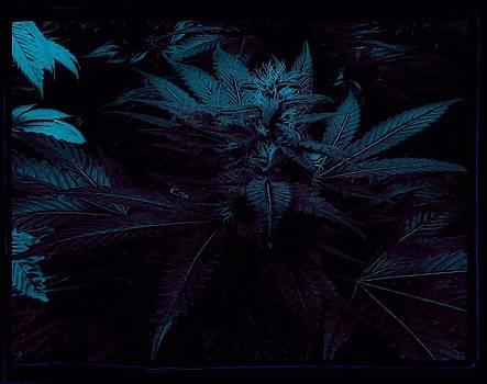 Canna Night #5 by David Munoz