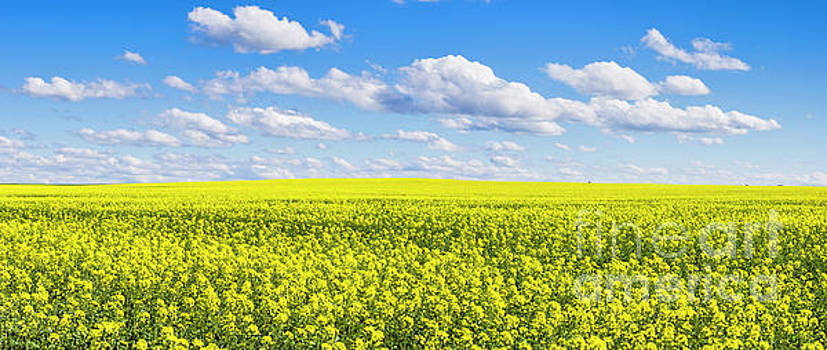 Canola crop under blue sky and cloud. by Carl Chapman