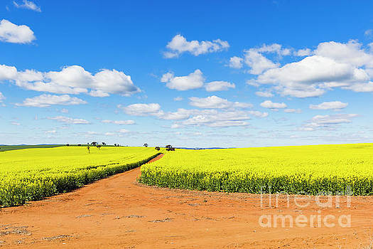 Canola field and dirt track under blue sky and cumulus clouds by Carl Chapman