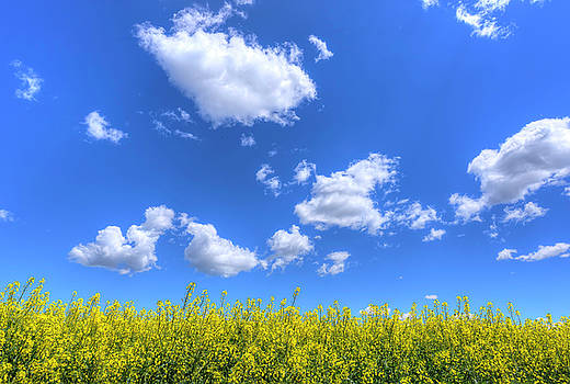 Canola Skies by Spencer McDonald