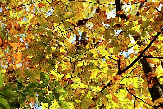 Canopy of Autumn Leaves  by Angie Tirado