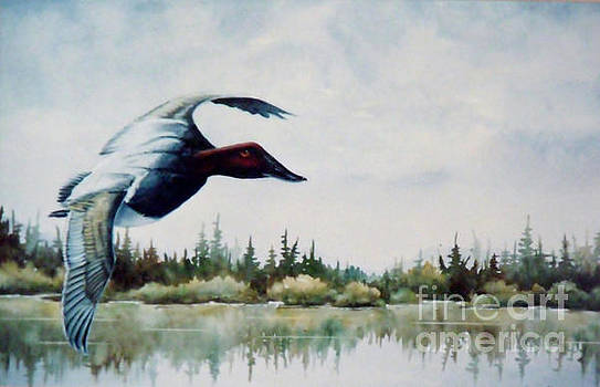 Canvasback  Over Lake by Lynne Parker