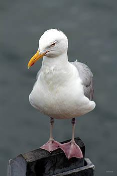 Cape Cod Seagull by Linda Sannuti