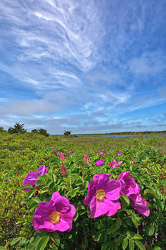 Juergen Roth - Cape Cod Wild Roses at the Mashpee National Wildlife Refuge