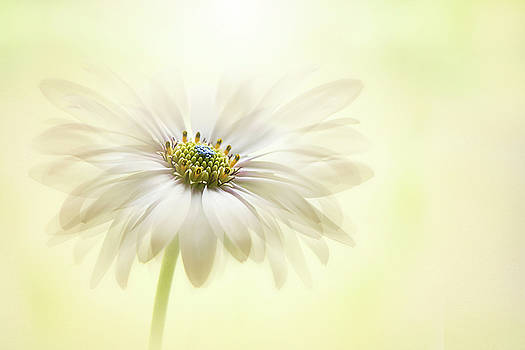 Cape Daisy by Jacky Parker