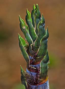 Cape May Bamboo by Robert Pilkington